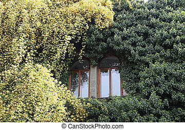 Rosa banksiae around the window - Huge overgrown lianas on...