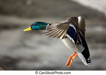 Flight of a wild duck close up