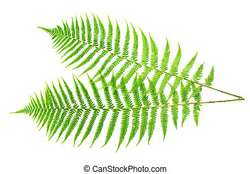 Two ferns - Two large branches of fern isolated on white