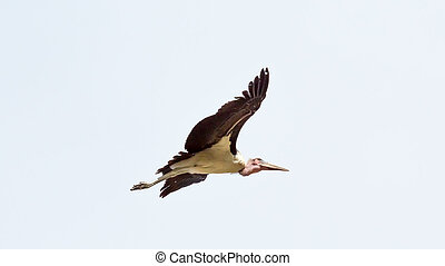 Marabou Stork in flight - A Marabou Stork scavenger bird in...