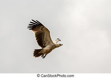 Eagle in flight - An eagle in mid flight with its wings...