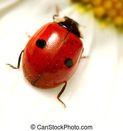 ladybug on camomile - ladybug on white camomile summer...