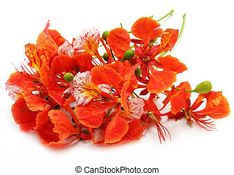 Delonix regia or Krishnachura over white background