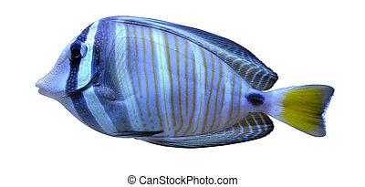 angelfish fish