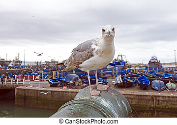 Seagull in the harbor from Essaouira Morocco Africa