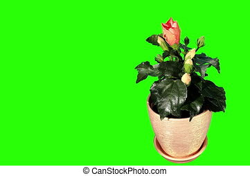 Blooming orange Hibiscus flower buds green screen, FULL HD...