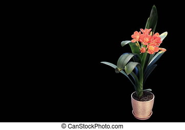 Growth of Clivia flower