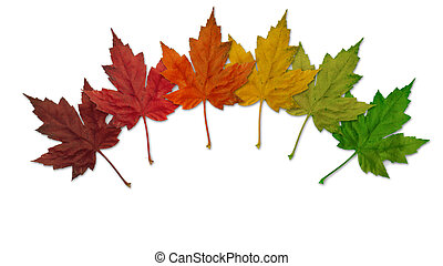 Colorful maple leaves - Six colorful maple leaves on a white...