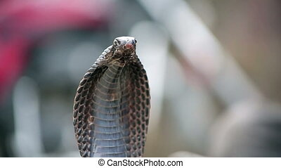 Close-up portrait of cobra