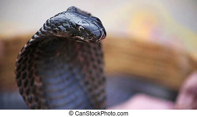 Close-up portrait of cobra - Close-up portrait of black...