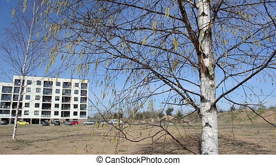 birch buds sway day - young yellow birch buds sways on a...