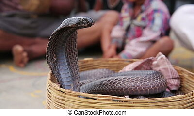 Close-up portrait of cobra sitting in a basket