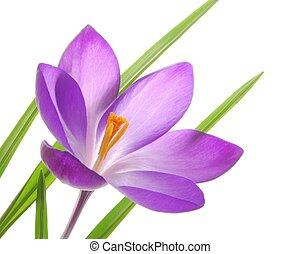 violet spring crocuses - Close-up of violet spring crocus...