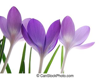 violet spring crocuses - Close-up of violet spring crocus...