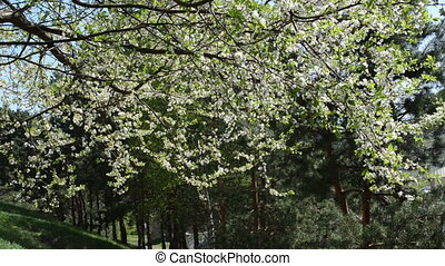 blooming fruit branch - White fruit tree twig branch blooms...