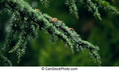Blue spruce branches