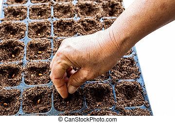 semente, melancia, semear, mão