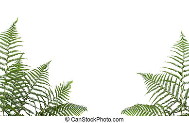 border of ferns - bborder of ferns ,isolated on white...