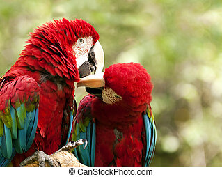 Red-and-green macaw - The green-winged macaw known also as...