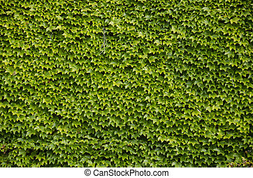Green wall background of Boston ivy - Green wall background...