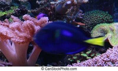 Marine aquarium with corals, anemones and sea fish