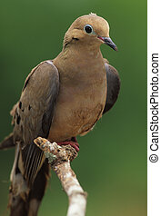 Mourning Dove - a mourning dove perched on a branch