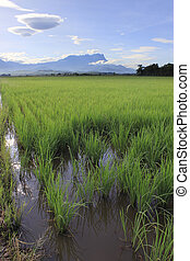 Paddy field at Sabah, Borneo, Malaysia with Mount Kinabalu...