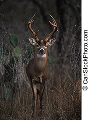 Whitetail Buck - a whitetail buck in heavy brush