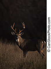 Whitetail Buck - a whitetail buck in forest opening