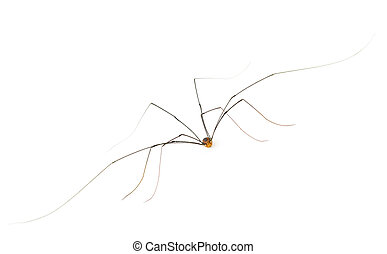 Daddy long legs harvestman 'spider' - This Daddy Long Legs...