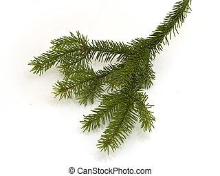 Fir branch - Little fir branch isolated on white background