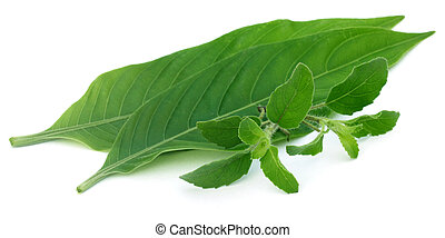 Medicinal herbs – Tulsi and Basak leaves over white...