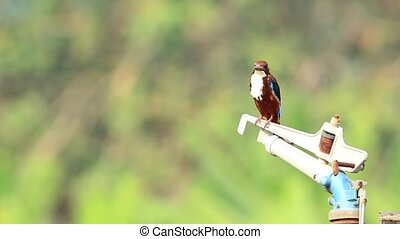 White Throated Kingfisher 2 - White Throated Kingfisher bird...