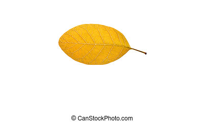 Yellow leaf - Close up of a single yellow obtuse pinnate...