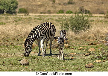 Zebra dam and young zebra foal in Pilanesberg National Park,...