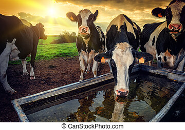 Herd of young calves drinking water at sunset