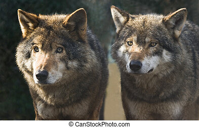 Two wolves standing together in the winter sun and looking...