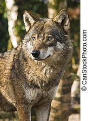 Grey wolf between birch trees - Grey wolf standing between...
