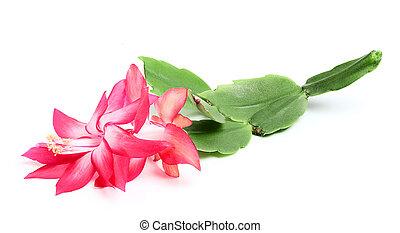 Christmas cactus. - Schlumberger indoor flower branch...