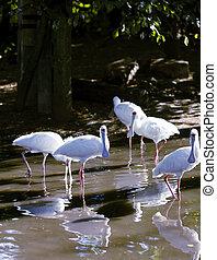 Spoonbill birds feeding