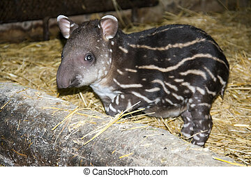 Tapir baby - Lowland tapir baby (Tapirus terrestris) in a...