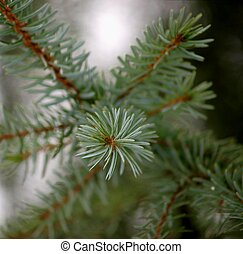 Pine branch - Little fresh pine branch