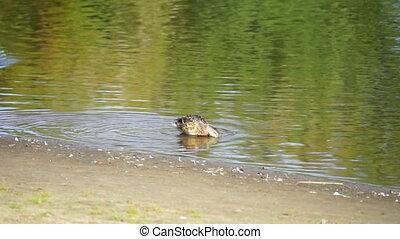 Ducks swim in the river Hd video