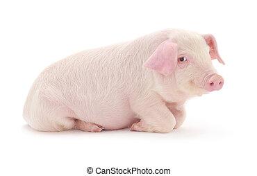 白色, 豬