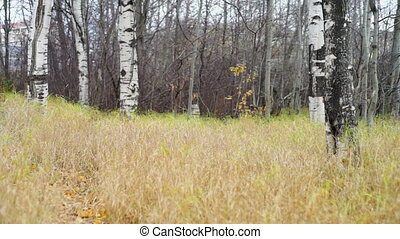Dry grass field and birches in autumn park - White poles of...