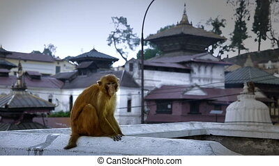 Monkey sitting on wall, pashupatinath temple, kathmandu,...