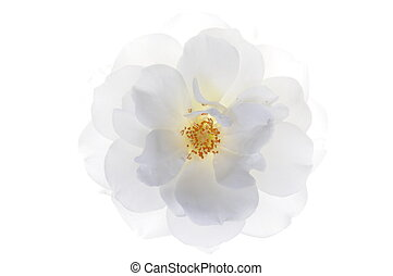 Single white rose head isolated on white background