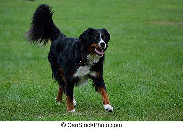 Berner Sennenhund laeuft ueber die Wiese