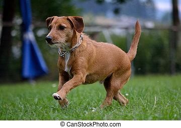 kleiner Hund laeuft ueber die Wiese - brauner...