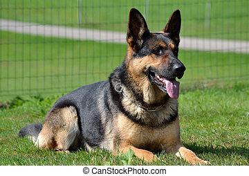 Schaeferhund aufmerksam in der Wiese liegend - Schaeferhund...